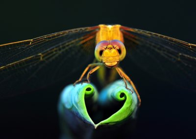 Yuan Minghui - 复件 (CHIN) Dragonfly show love heart