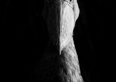 Dvir Barkay (USA) | Sidelit Shoebill