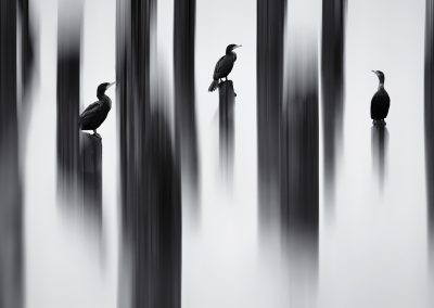 Shane Kalyn (CAN) | Painted Cormorans