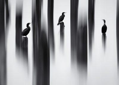 Shane Kalyn (CAN)   Painted Cormorans