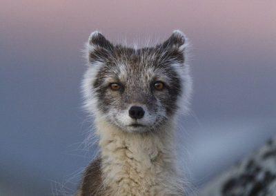 Carla Rivas (ESP)   Polar fox in evening light
