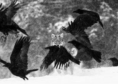 Martin Steenhaut (BE) | Wolf attack