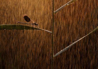 Norbert Kaszás (HU) | Golden rain