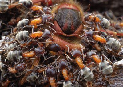Petr Bambousek (CZ) | Hunting ants