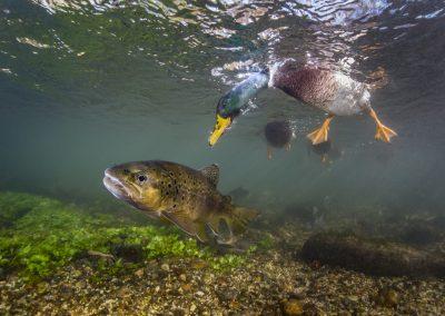 Paul Colley (UK)   Duck Photo Bomb