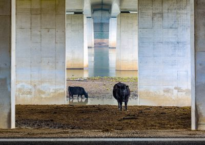 Karin de Jonge (NL) | Galloways under the bridge